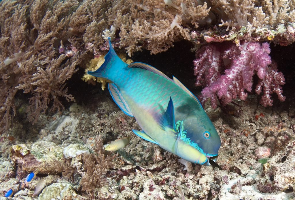 Blue parrotfish eating near coral reef
