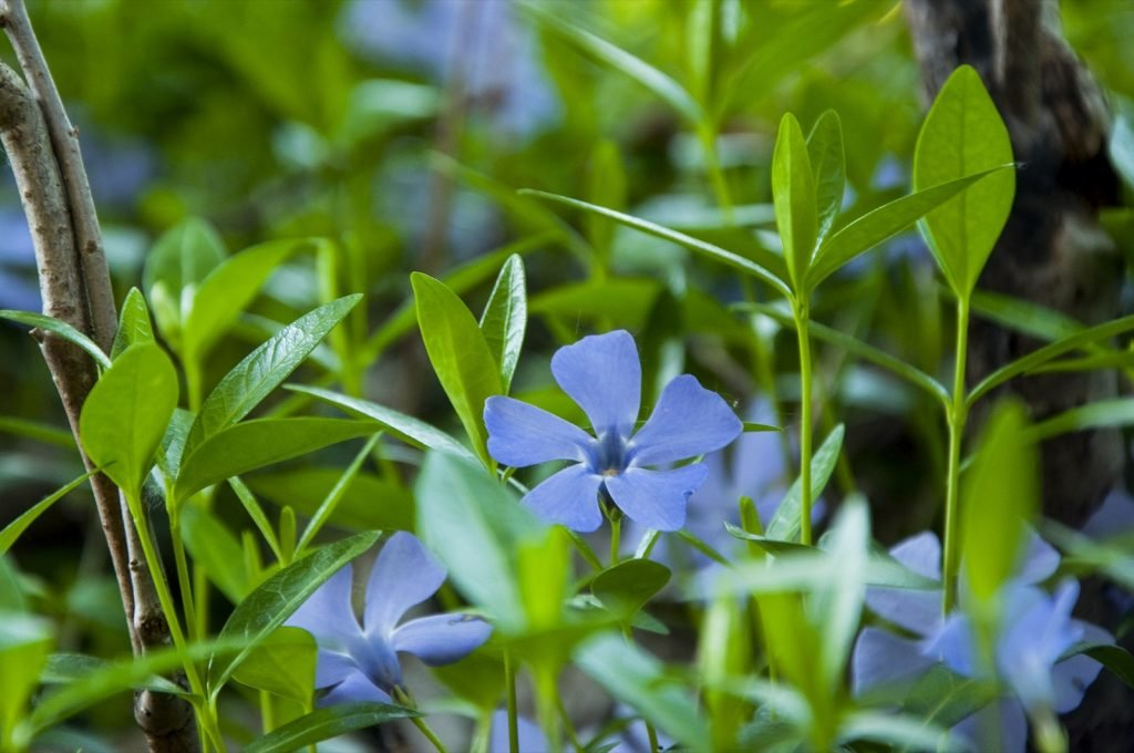Blue Periwinkle flowers on the ground