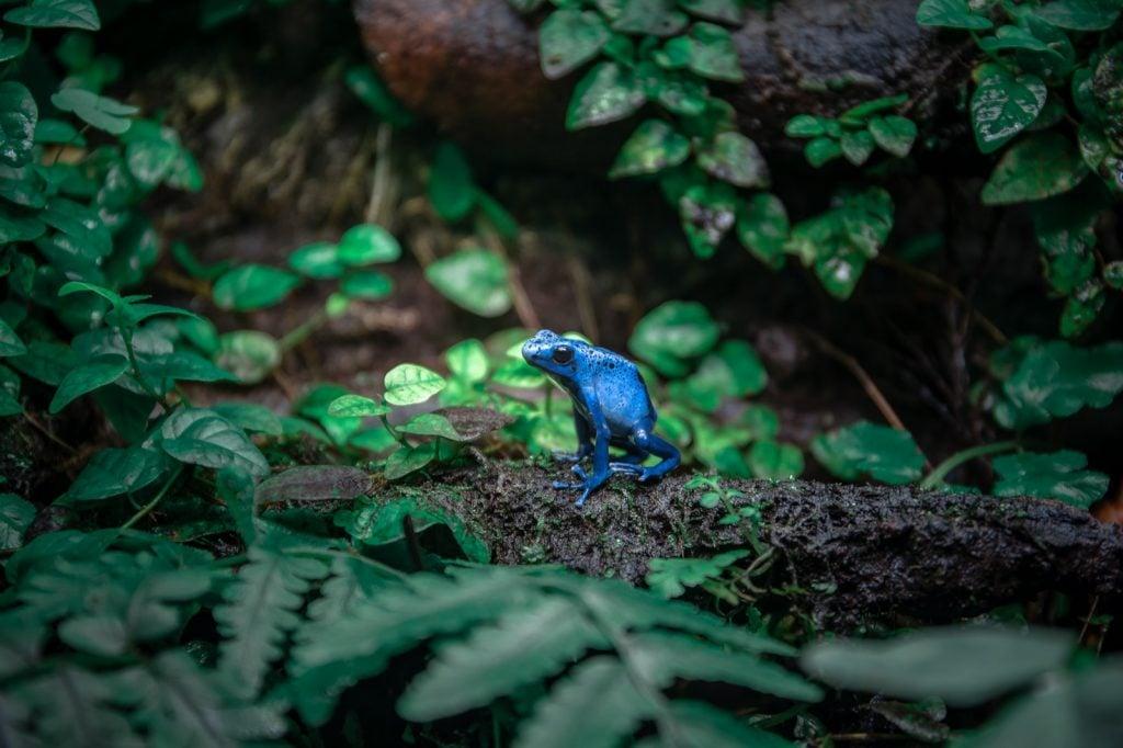 Blue poison dart frog in rain forest