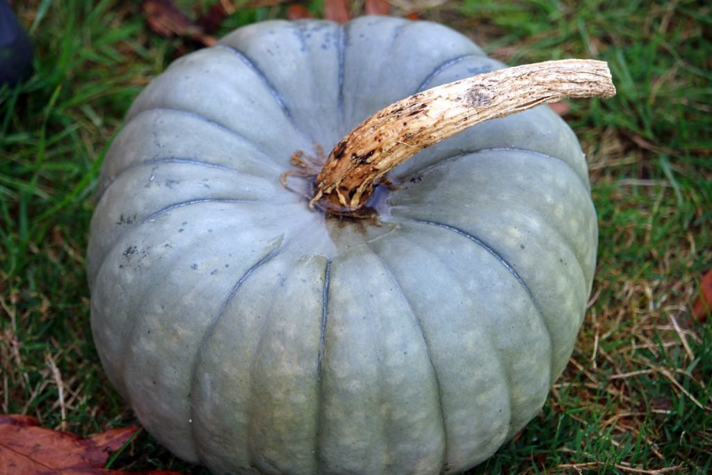 Ripe Queensland blue pumpkin