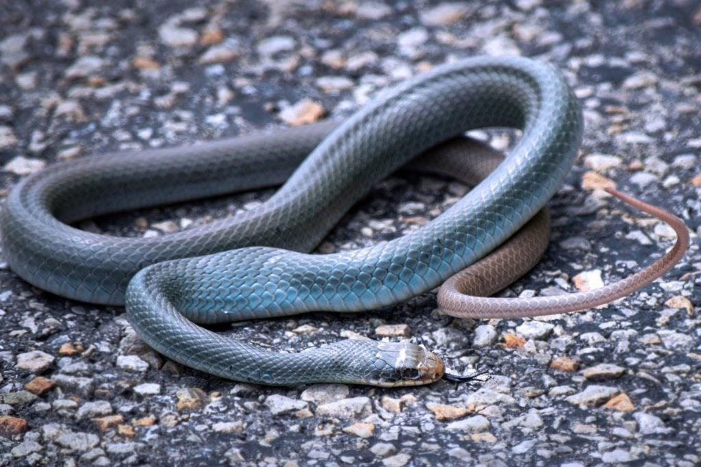 Blue racer snake on asphalt road