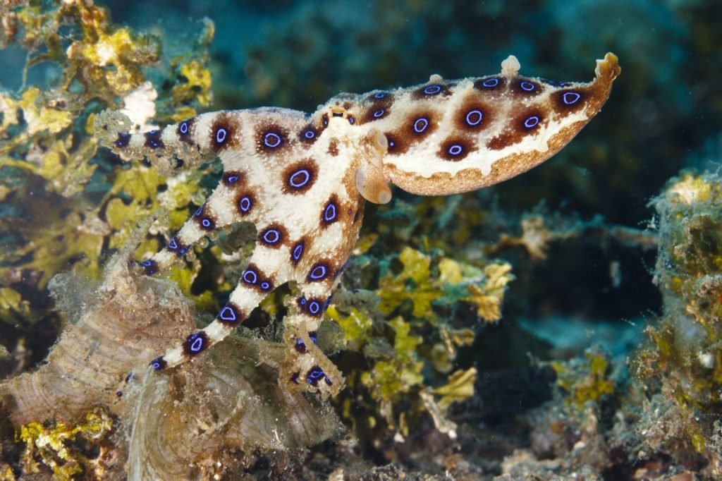 Greater blue-ringed octopus aka Hapalochlaena Lunulata on a reeftop in Indonesia