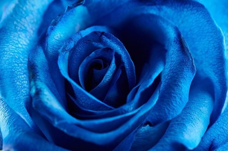 Blue Rose Close Up Macro