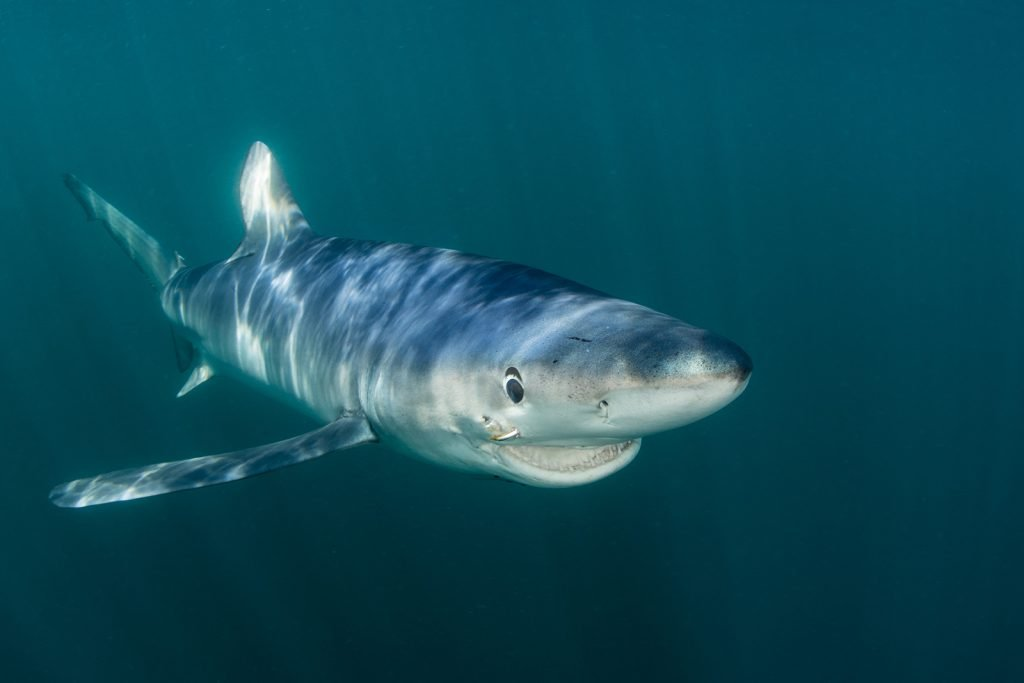 Blue shark aka Prionace Glauca in the sunlit waters of the Atlantic Ocean