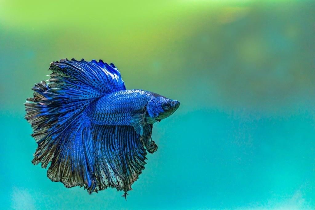 Blue Siamese Fighting Fish or Betta Fish variety called Halfmoon