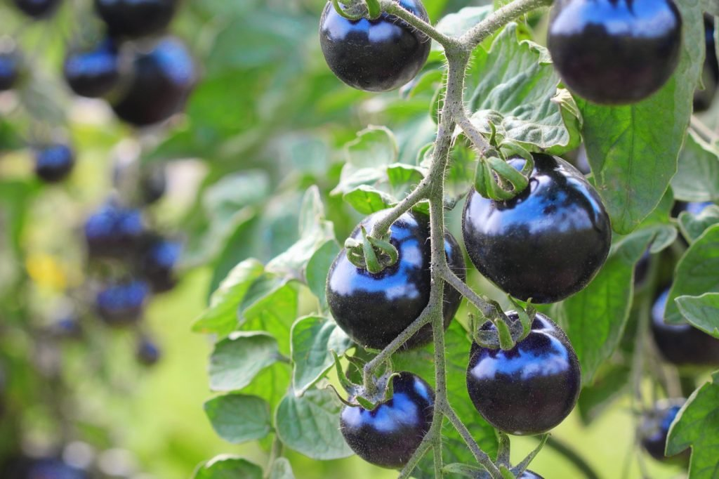 Blue colored tomatoes on a plant vine