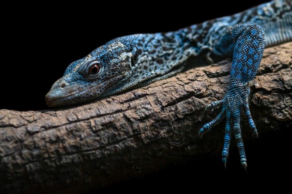 Blue tree monitor colored lizard aka Varanus Macraei lying on a tree branch