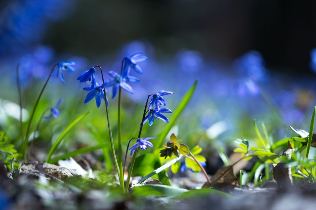 Bluebell flowers growing in a forest in spring