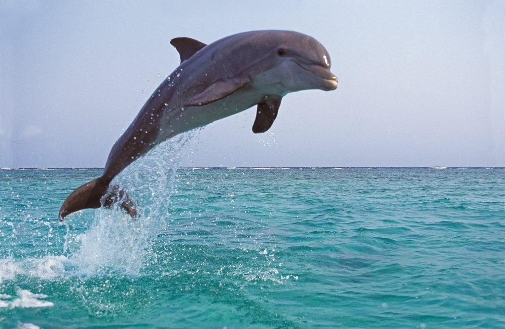 Adult bottlenose dolphin aka Tursiops Truncatus leaping out of water in the Caribbean Sea
