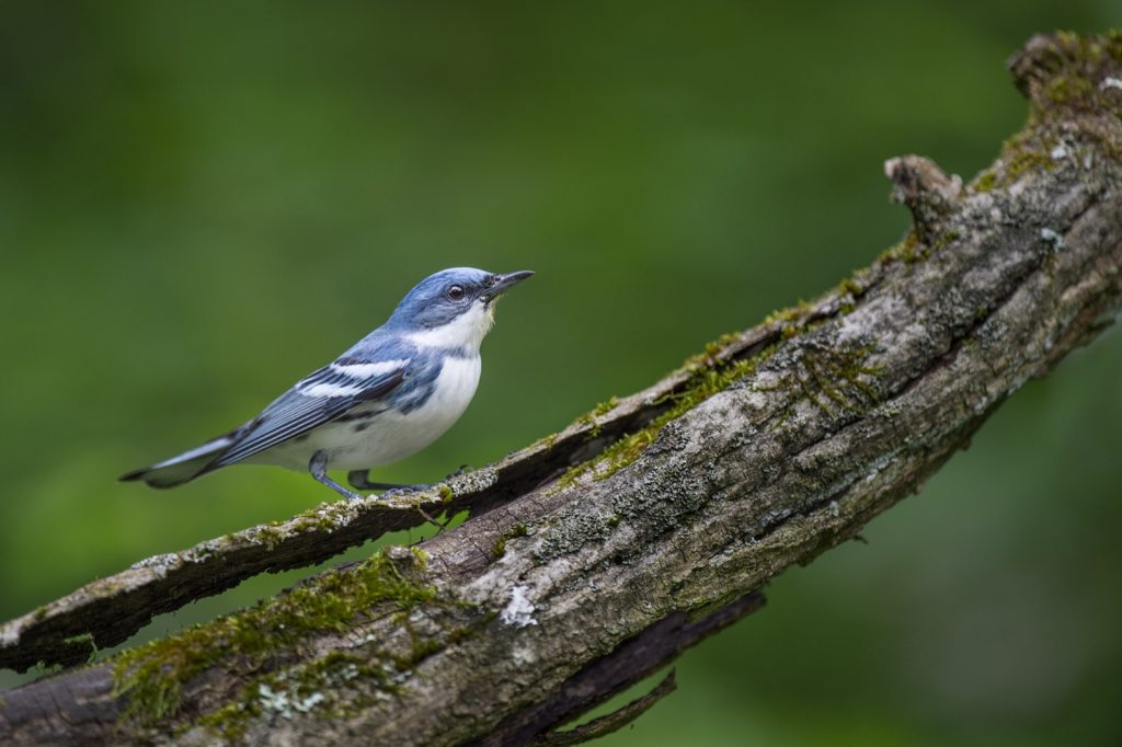 Bright blue Cerulean Warbler perched on a heavy textured log with moss