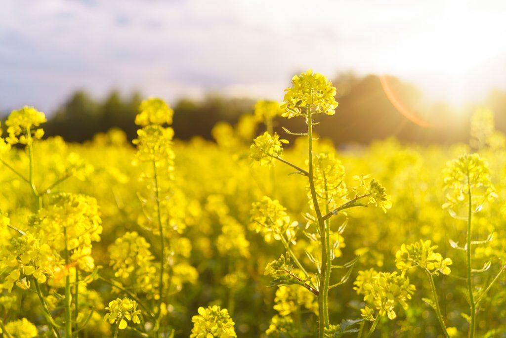 Bright yellow mustard field in summer