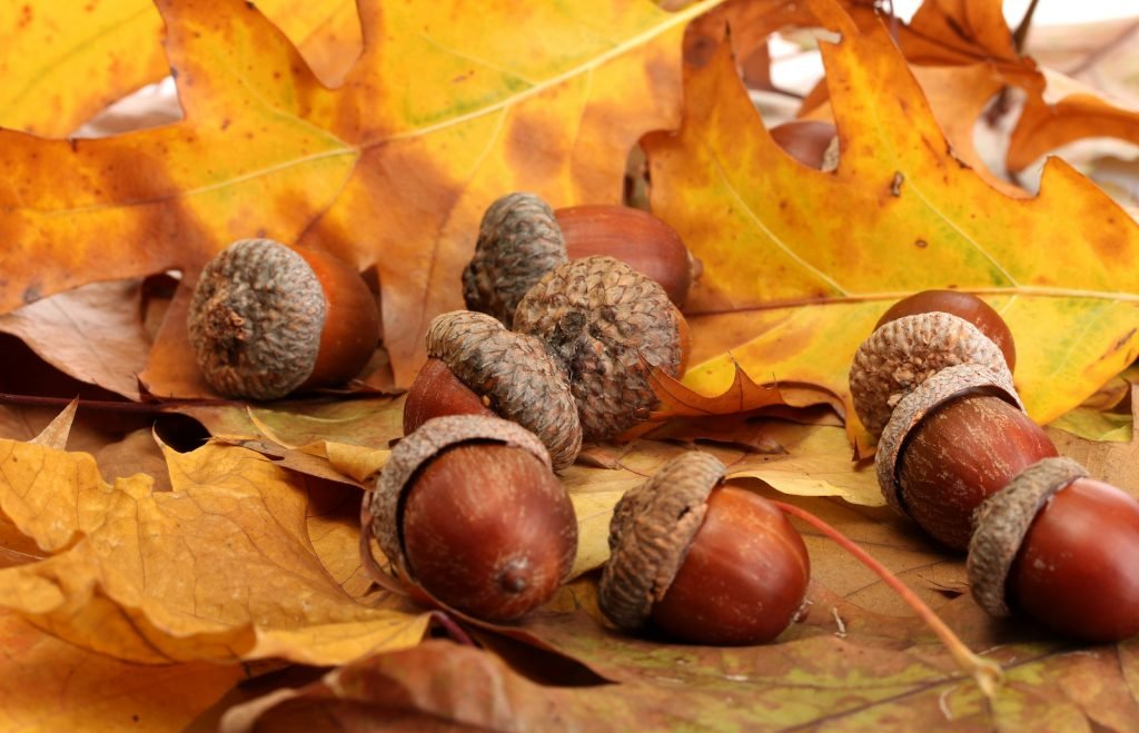 Close up of brown acorns lying on autumn leaves on the ground