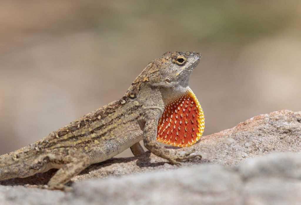 Brown anole lizard aka Anolis Sagrei