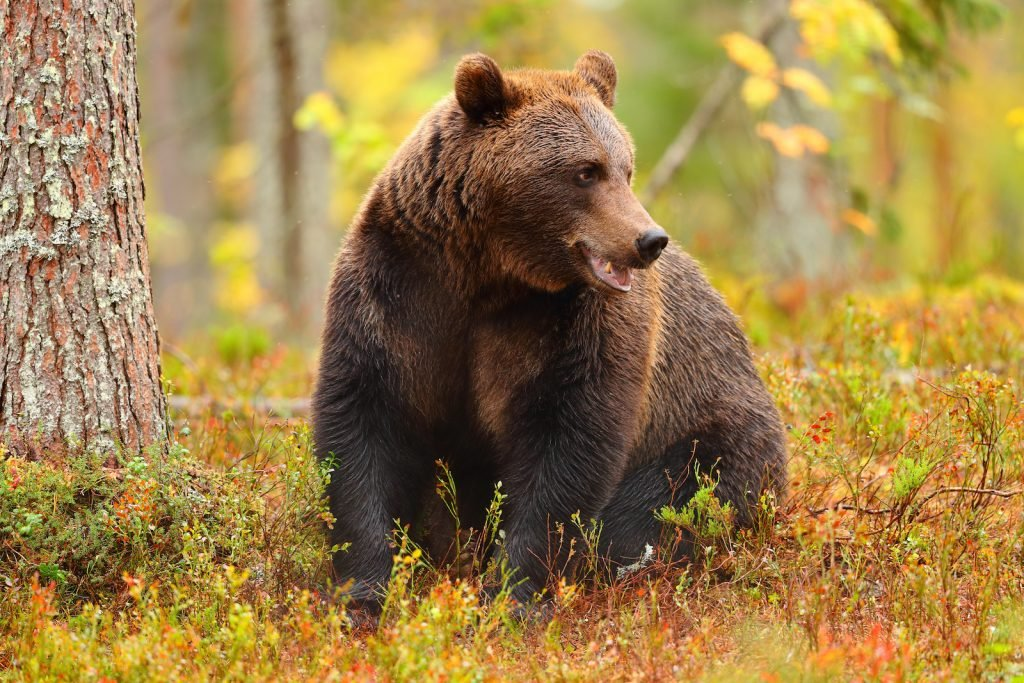 Close up of a brown bear sitting in the forrest in the fall