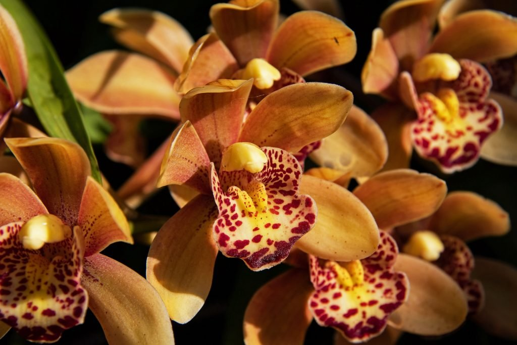 Close up of brown cymbidiums in bloom