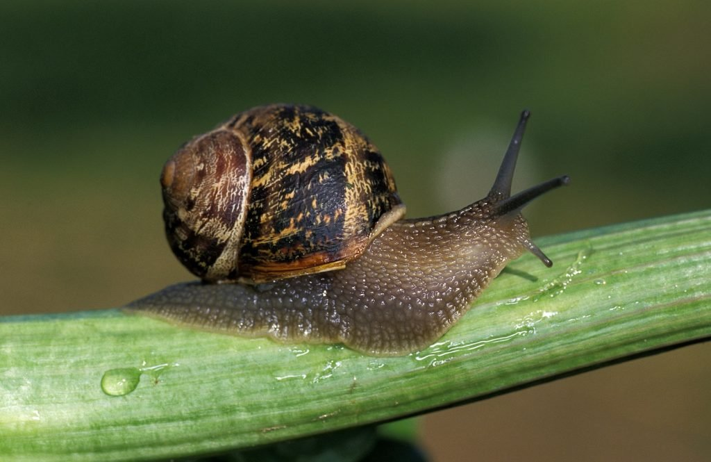 Close up of adult brown garden snail on a green stem in the garden