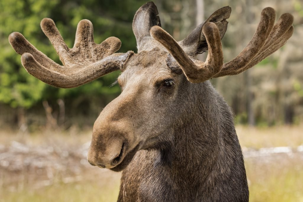 Close up of a large male moose buck in the forrest
