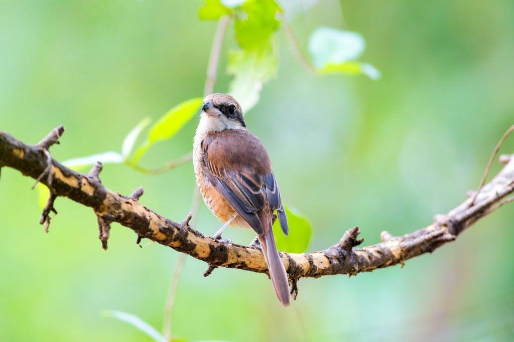 Brown shrike aka Lanius Cristatus sitting on a branch