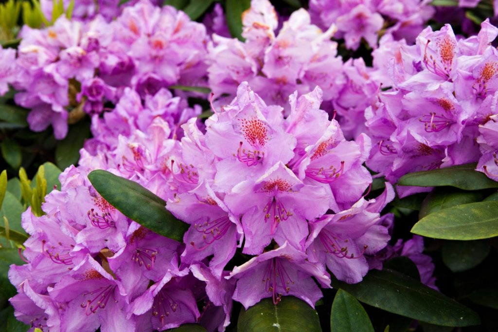 Bush with pink rhododendron flowers