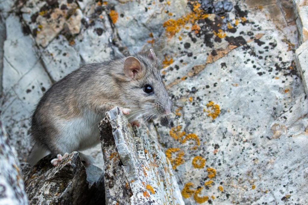 Bushy-tailed woodrat sitting on a big grayish stone