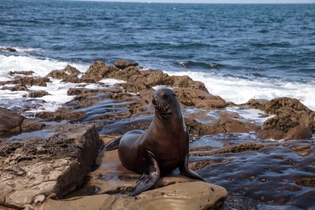 California sea lion aka Zalophus Californianus sitting on rocks
