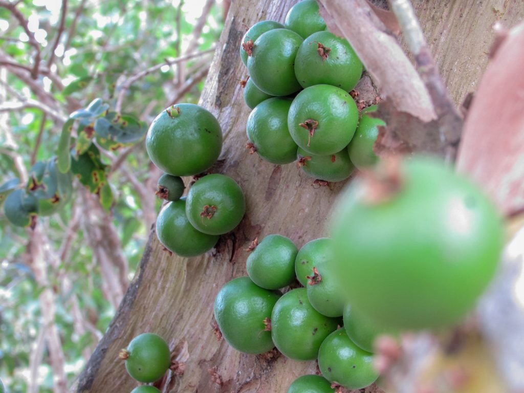 Green cambucá fruit growing on the tree