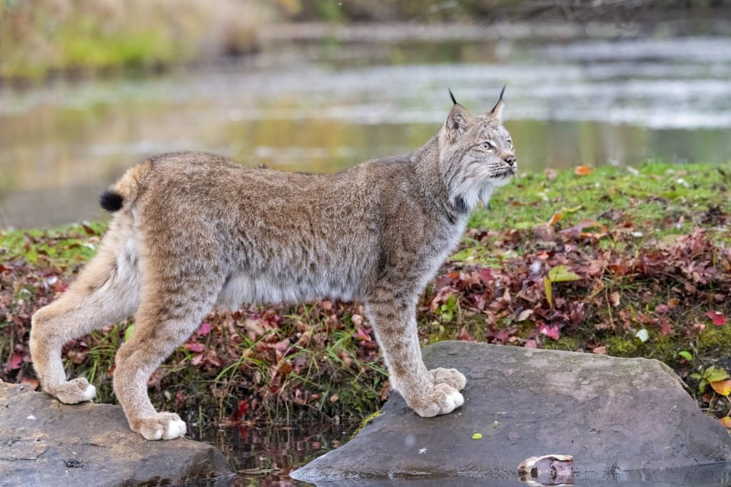 Canada Lynx standing on to big rocks with Water in the background in autumn