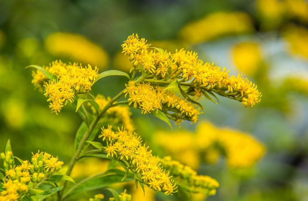 Canadian goldenrod yellow summer flower