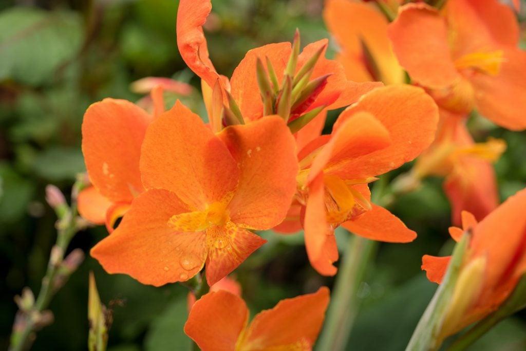 Beautiful orange canna lilies flowers in a garden