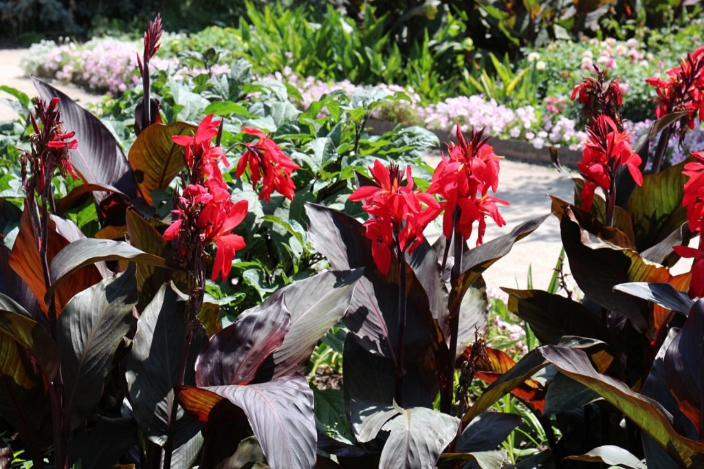 Canna tropicanna black with dark leaves and bright red flowers