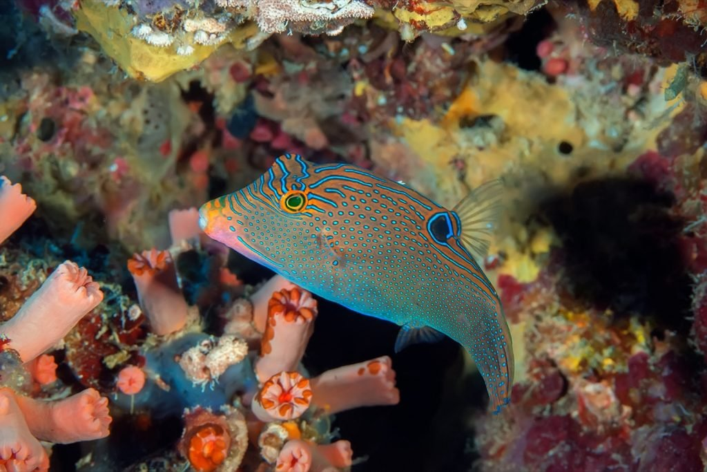 Blue spotted puffer fish aka Canthigaster Solandri against hard and soft corals