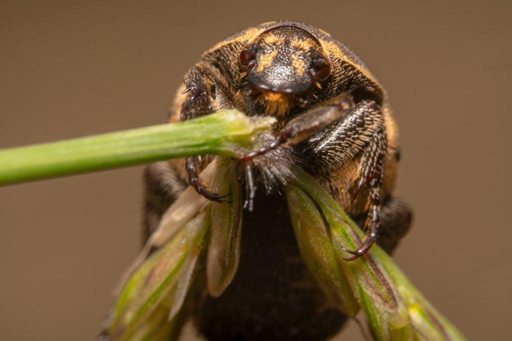 Ekstrem closeup of a carpet beetle sitting on a green plant