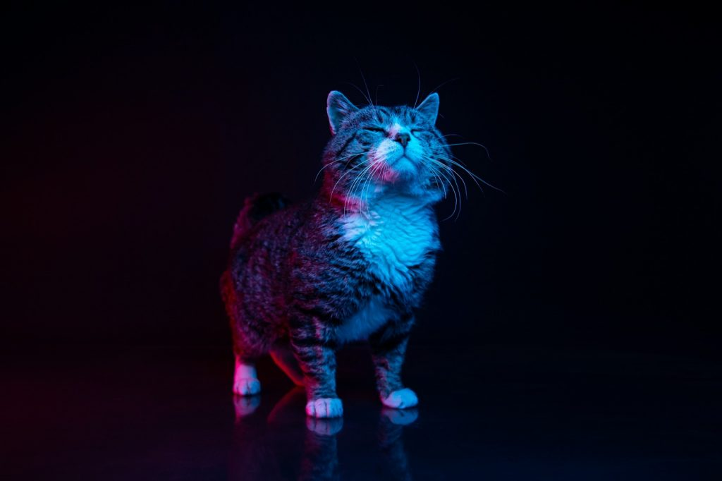 Cat in studio experiencing calming blue and violet colors