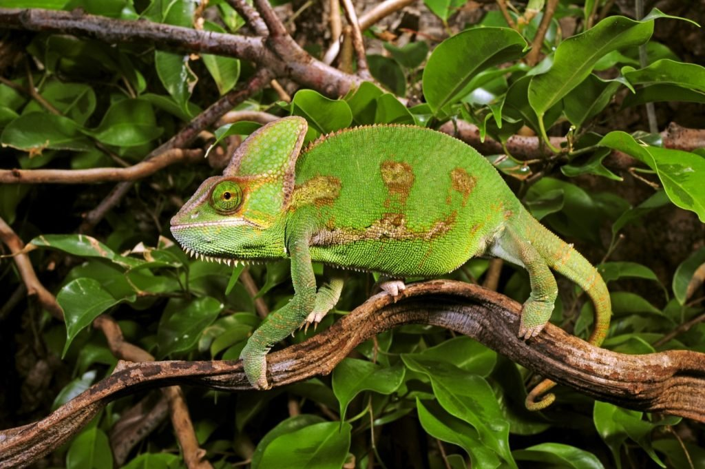 Chamaeleo Calyptratus commonly known as the veiled chameleon