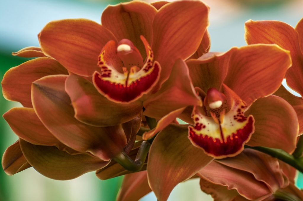 Charlie brown boat orchid flower closeup