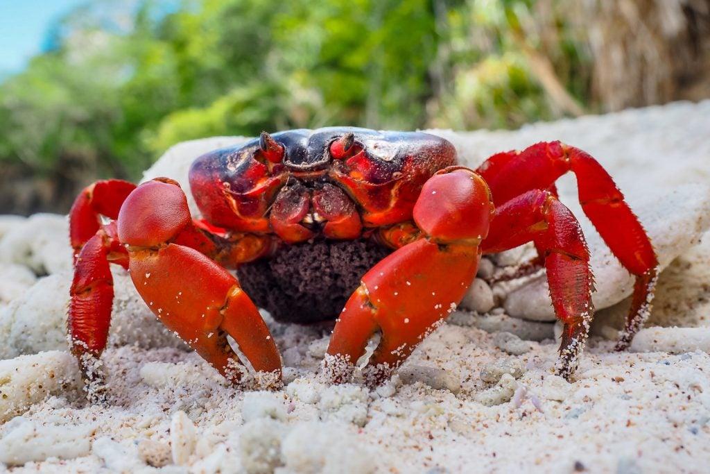 Christmas Island red crab or Gecarcoidea Natalis