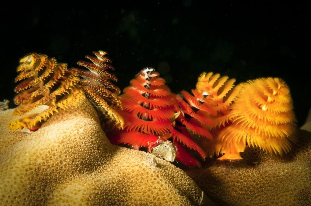 Christmas tree worms aka Spirobranchus Giganteus on coral reef