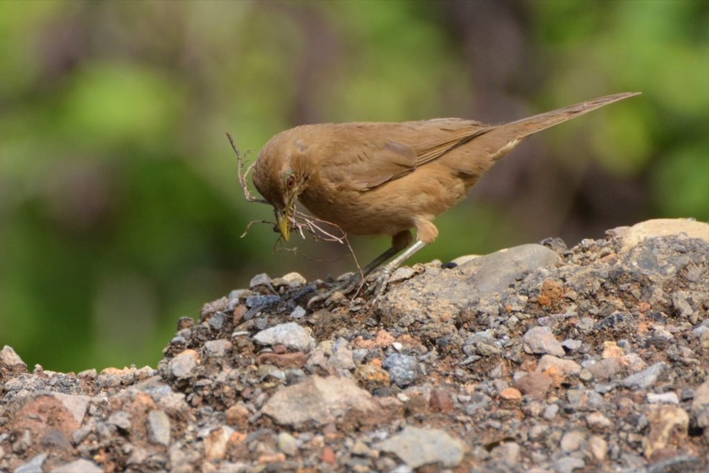 Clay-colored thrush gathering nesting material