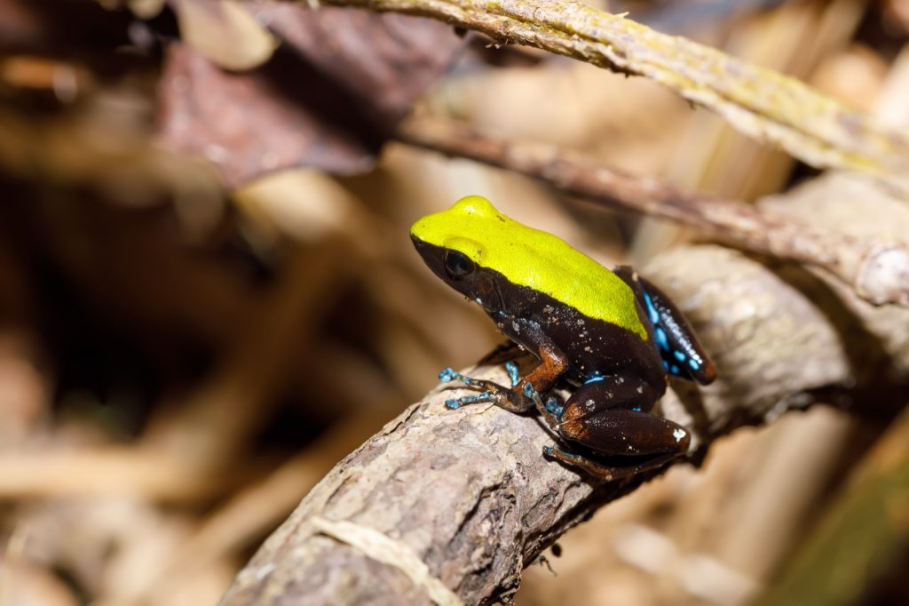 Climbing mantella frog with yellow back and head from Madagascar