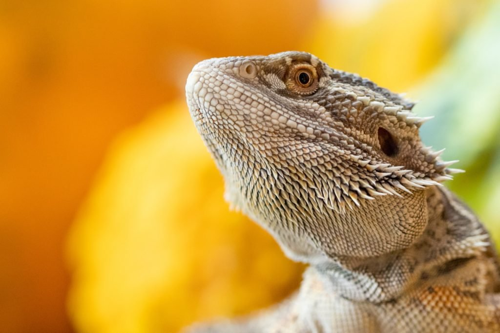 Close-up of brown bearded dragon lizard on a colorful background