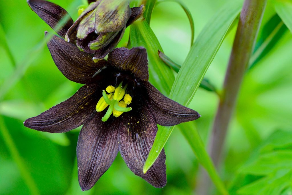 Close-up of black chocolate lilies