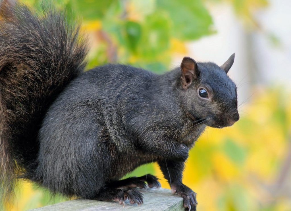 Close-up of a black squirrel sitting on a fence
