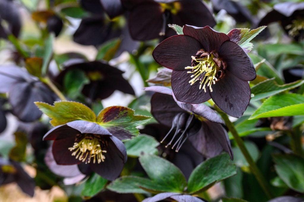 Close-up of blooming black hellebore flowers in spring garden