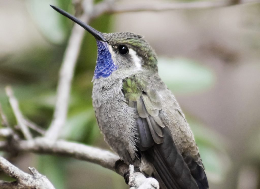 Close-up of blue-throated mountain-gem