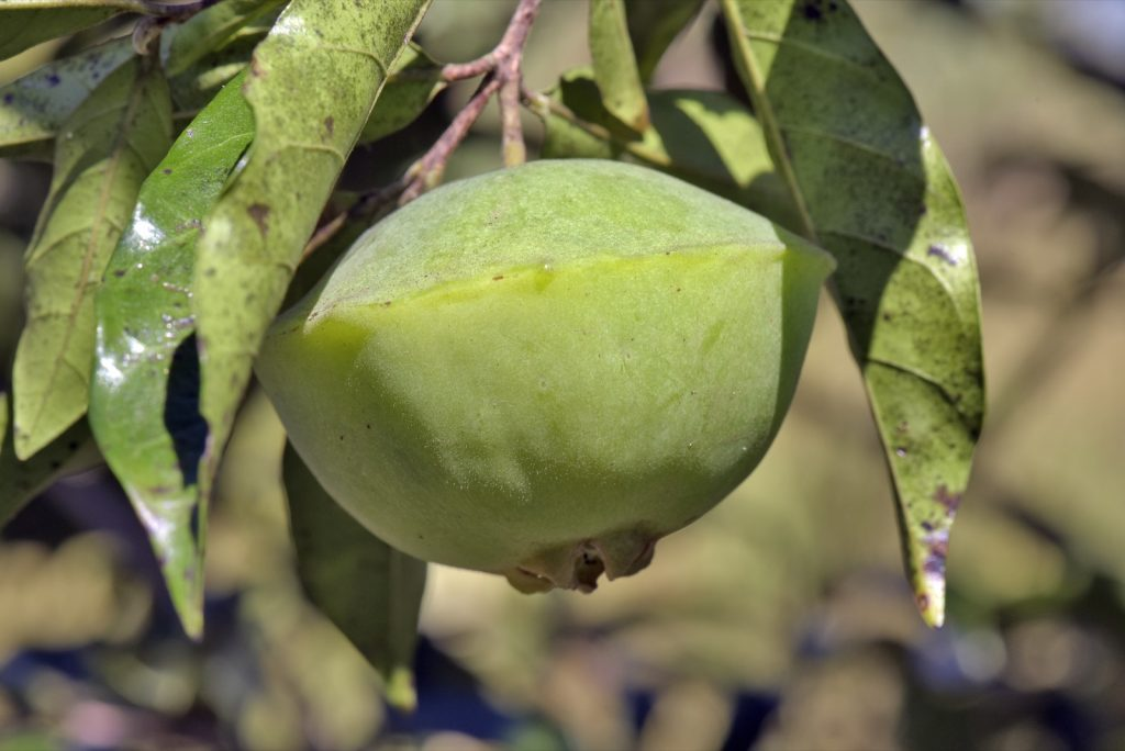 Close-up of cambuci fruit on a tree
