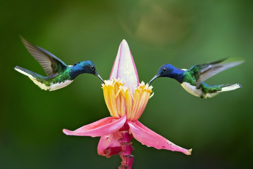 Close-up of two colorful hummingbirds drinking nectar from a flower