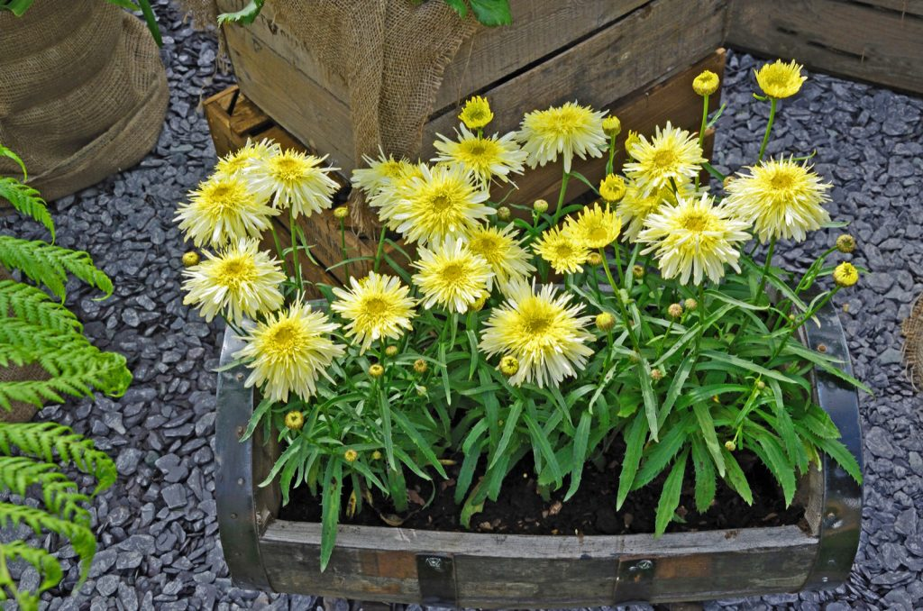Close-up of leucanthemum flowers of the yellow variety in a wooden container