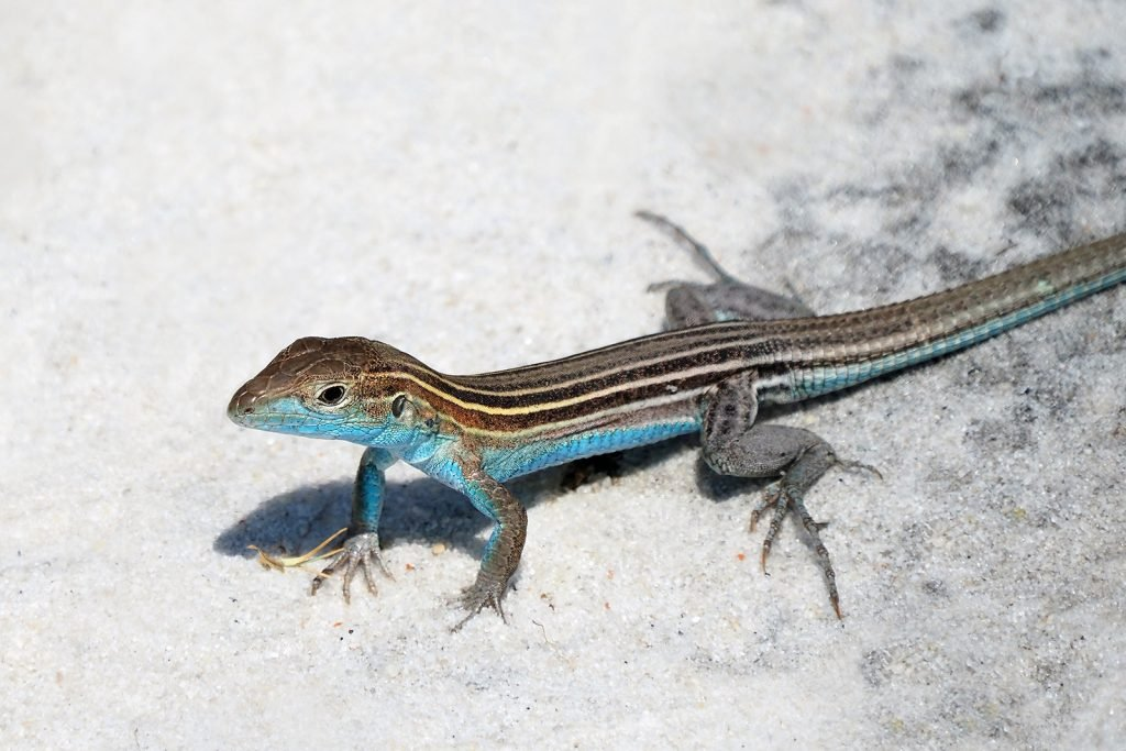 Close-up of a male six-lined racerunner lizard with a blue belly and throat