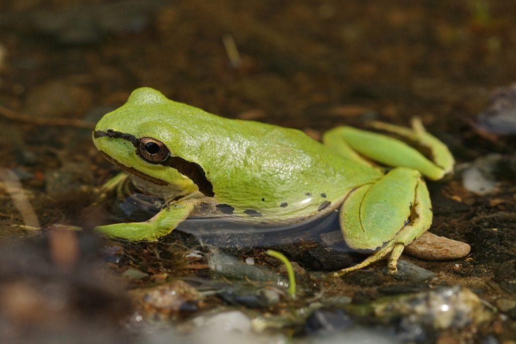 Close-up of pacific tree frog aka Pseudacris Regilla