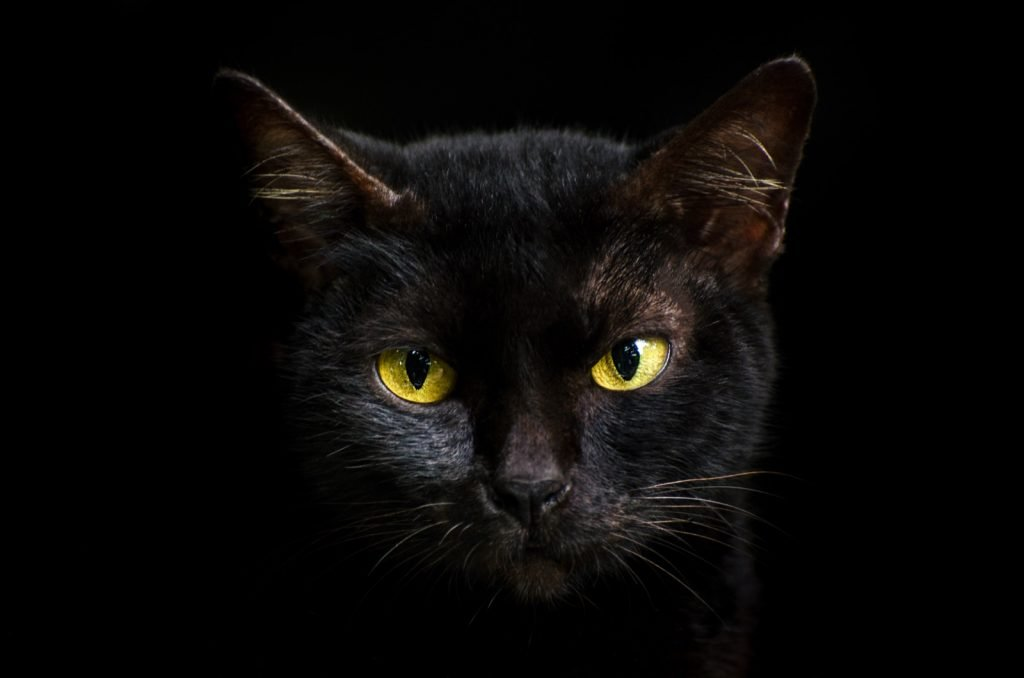 Close-up portrait of black cat with yellow eyes
